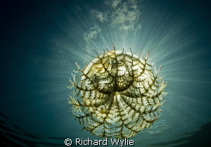 """United Nations"" (Southern Tailed Jellyfish) caught again... by Richard Wylie"